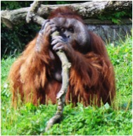 Dublin Zoo's Orangutan - more fun to visit than Irish bars.