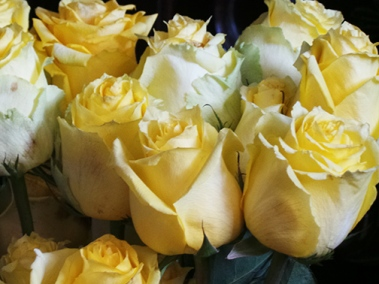 yellow roses-z