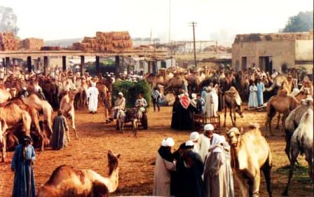 EGYPT-cairo-imbaba-green-camels