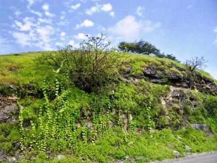 OMAN-khareef-side-road-vines